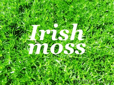 Ирландский мох – польза и вред, чего больше?