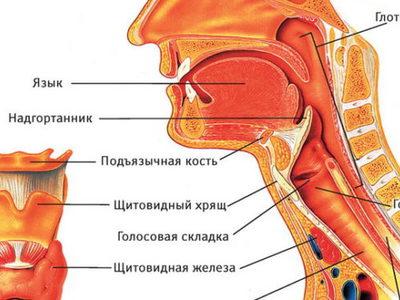 Строение носоглотки человека в разрезе